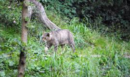 Wildkatze in der Rhön